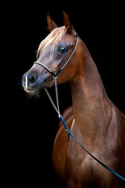 pic of fillies  - Chestnut horse portrait isolated on black background - JPG