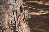 image of coiled  - Coil of Rope in a Rope Course stacked against a tree - JPG