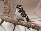 stock photo of woodpecker  - A beautiful male Downy Woodpecker sporting the red spot on back of his head perches on a winter branch as he approaches a northern Wisconsin feeding station - JPG