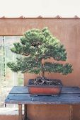 foto of pinus  - Pine bonsai in front of wall - JPG