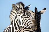 image of herbivore animal  - Zebra animal resting it - JPG