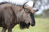 picture of antelope horn  - Black wildebeest antelope from Africa with shaggy fur and horns - JPG