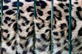 A big cat in cage, its fur behind zoo bars, captivity. Conceptual