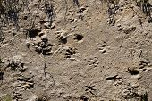 image of marshlands  - Raccoon Tracks In The Mud Of A Coastal Barrier Islands Marshland - JPG