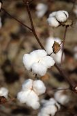 stock photo of boll  - Close Up Of Cotton Boll On The Plant Ready to Be Picked - JPG