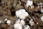 picture of boll  - Landscape Cotton Boll On Plant Ready to be Picked - JPG
