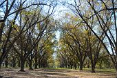 stock photo of pecan tree  - Landscape Pecan Grove With Sky Under Blue Sky - JPG