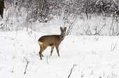 Roe Deer At Winter