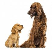 stock photo of english setter  - English Cocker spaniel puppy looking up at an Irish setter - JPG
