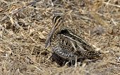 stock photo of snipe  - Wilson - JPG