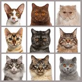 stock photo of vertebrates  - Nine cat heads looking at the camera - JPG