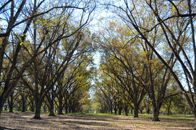 picture of pecan tree  - Landscape Pecan Grove With Sky Under Blue Sky - JPG