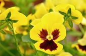 stock photo of viola  - Yellow viola flowers in garden close up view - JPG