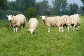 picture of dike  - A flock of sheep on a dike - JPG
