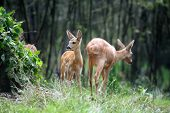 stock photo of roebuck  - Young roe deer standing in summer forest - JPG