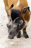 image of wild hog  - A red river hog also known as the bush pig - JPG