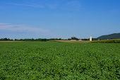 image of alfalfa  - A lush green field of alfalfa under a blue sky - JPG
