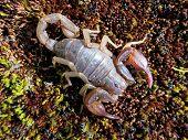 stock photo of scorpion  - A Northern Scorpion  - JPG