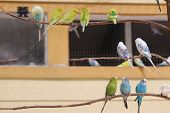 image of parakeet  - A few colorful parakeets in large enclosure on twig