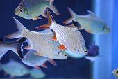 picture of freshwater fish  - Freshwater fish in the aquarium - SCHWANENFELD