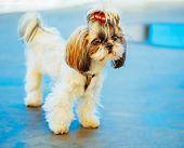 stock photo of dog breed shih-tzu  - Cute Shih Tzu White Toy Dog On Blue Floor Indoors - JPG