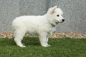 pic of swiss shepherd dog  - Beautiful puppy of White Swiss Shepherd Dog standing in the garden - JPG