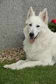 stock photo of swiss shepherd dog  - Nice White Swiss Shepherd Dog lying in the garden - JPG