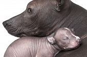 pic of puppies mother dog  - One week old xoloitzcuintle puppy with mother - JPG
