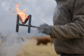 stock photo of calf  - A cowboy holding a hot iron brand that is on fire before branding a calf, while calves are in the background ** Note: Soft Focus at 100%, best at smaller sizes - JPG