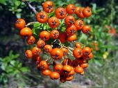 stock photo of mountain-ash  - Beautiful nature background - the fruits of the mountain ash close-up