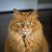 stock photo of stare  - Green eyed cat staring at viewer - JPG