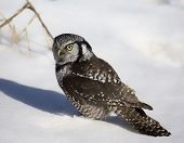 image of snow owl  - Close up image of a northern hawk owl standing on snow covered ground.