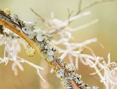stock photo of crepe myrtle  - Lichen and Spanish moss on crepe myrtle branch in spring - JPG