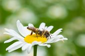 stock photo of sucking  - Bees sucking nectar from a daisy flower - JPG