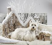 image of west highland white terrier  - West Highland White Terrier in front of a Christmas scenery - JPG