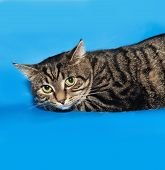 stock photo of blue tabby  - Tabby nice cat lying on blue background - JPG