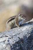 image of ground nut  - Barbary ground squirrel  - JPG