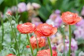 image of buttercup  - Persian buttercup flowers  - JPG
