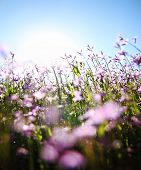 stock photo of hay fever  -  a bunch of pretty pink wild flowers shot with a wide angle lens right into the sun  - JPG