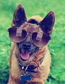 image of chihuahua mix  - a cute chihuahua toned with a retro vintage instagram filter with sunglasses on - JPG