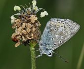 stock photo of ribwort  - Common Blue Butterfly - Polyommatus icarus