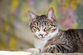 pic of tabby cat  - close up of lying tabby cat with green eyes - JPG