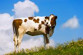 stock photo of calf  - White and brown calf on a mountain pasture with green grass yellow flowers and blue sky with clouds - JPG
