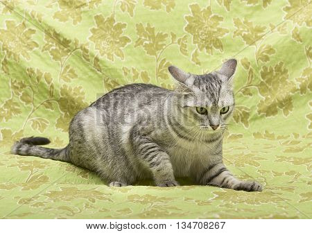poster of Cat on green background, cat at home,funny cat, domestic animal, grey serious cat in blurry background, portrait of cat. Playful cat on green background, playing cat. Cat ooking to the top