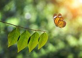 Monarch Butterfly And Green Leaf On Sunlight In Nature