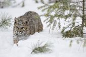 stock photo of bobcat  - Bobcat walking in deep snow during winter time with pine trees - JPG