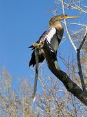picture of snakehead  - adult snakehead sitting in a tree - JPG