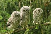 stock photo of screech-owl  - Three baby screech Owls sitting in a tree - JPG