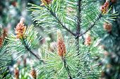 Pine Cone And Green Needles On Fir Tree In Krakow, Poland. Christmas And New Year Holiday Celebratio poster