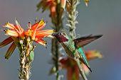 Hummingbird Hybrid poster